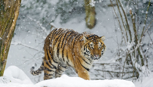 Tiger walking in the snow | by Tambako the Jaguar