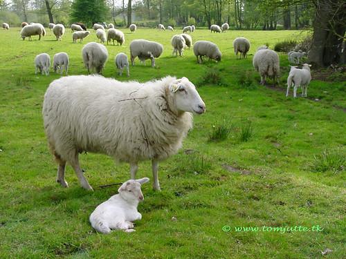 travel holland netherlands dutch one 1 spring europe view sheep you sony ngc nederland cybershot thank views million animalplanet schaap webshots holterberg lammetje nijverdal f505 miljoen