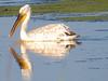 Dalmatian Pelican, Burgas Lake, Bulgaria 110612 by 1760up