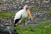 Milky Stork (Mycteria cinerea) by Sergey Pisarevskiy