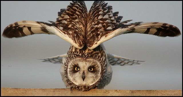 Coruja-do-nabal,Short-eared Owl (Asio flammeus)
