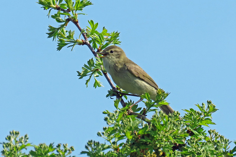 Willow Warbler - Phylloscopus trochilus