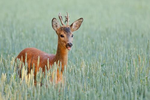 Ree, Deer, Male | by gipukan (rob gipman)
