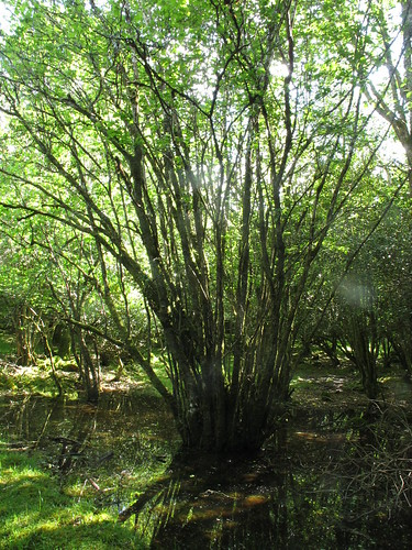 willows wet woodland Gortacarnaun, photo by Micheline Sheehy-Skeffington | by Irish Ramsar Wetlands