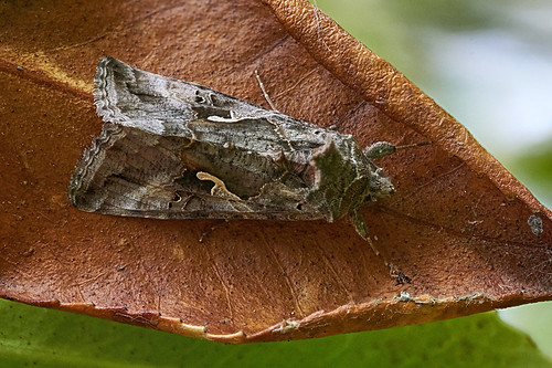 Y moth on dead camellia leaf #4 | by Lord V