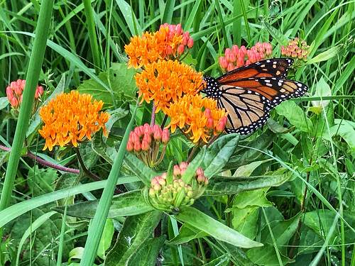 Monarch on butterfly weed | by dschirf
