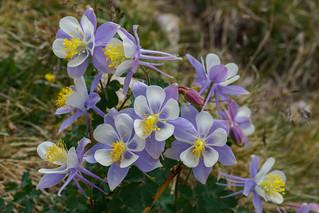 Huron Peak Columbine | by razor2277