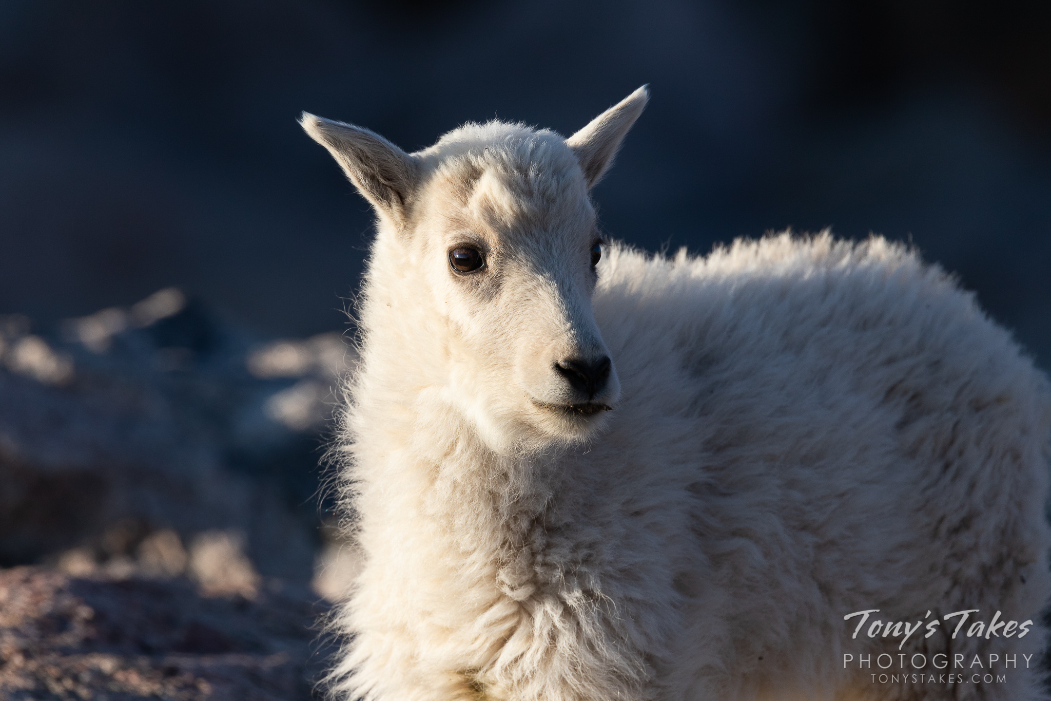 Mountain Goat kid in the early morning light