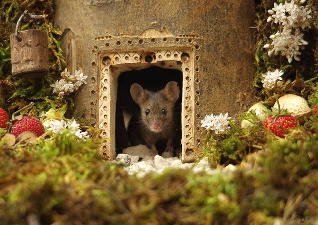 Mouse in a log house  (4)