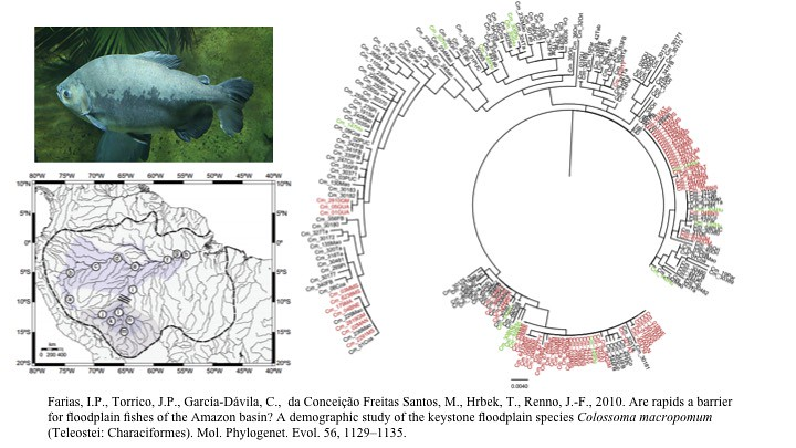Farias et al., 2010. Are rapids a barrier for floodplain fishes of the Amazon basin? A demographic study of the keystone floodplain species Colossoma macropomum (Teleostei: Characiformes)