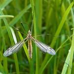 Frühlingsschnake (Spring Crane Fly, Tipula vernalis)
