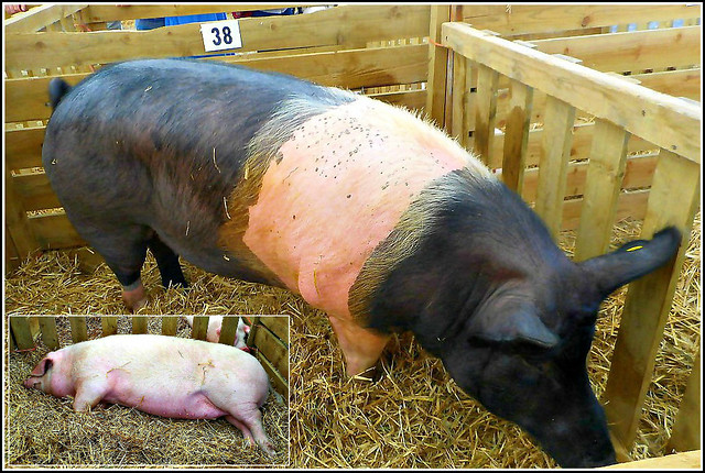 Two Different Breeds of Pigs ...
