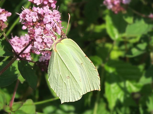 Zitronenfalter - Brimstone butterfly
