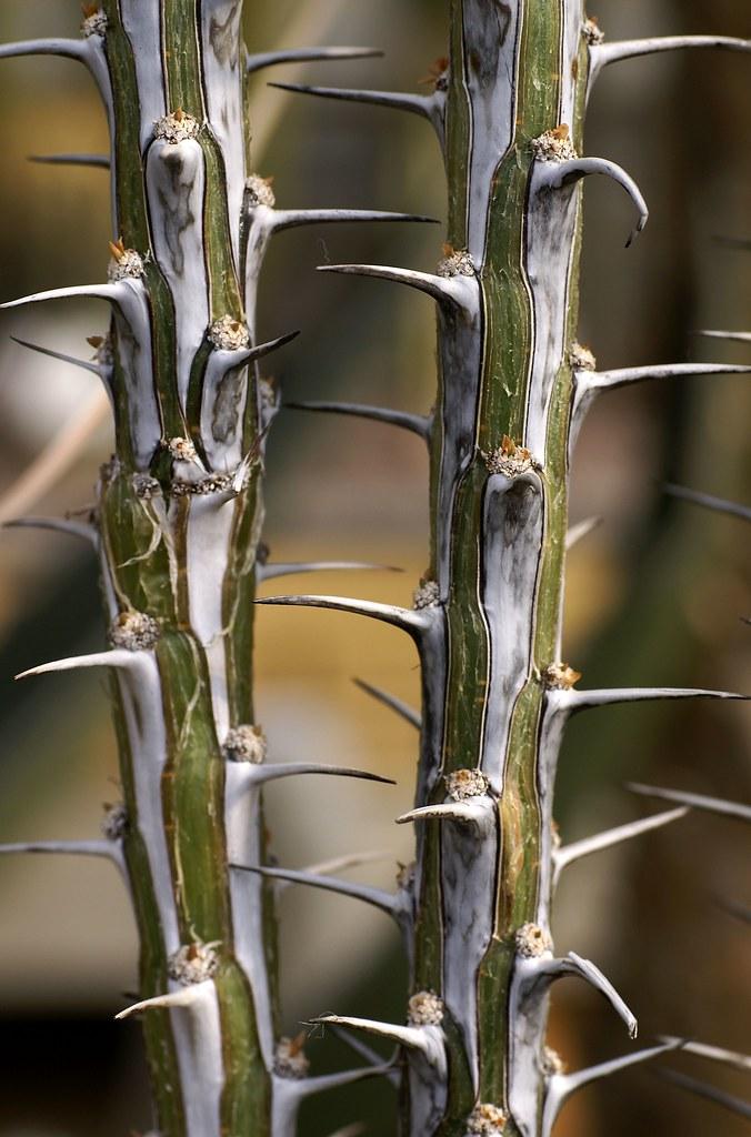 Fouquieria splendens (ocotillo) | Common names are ocotillo