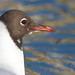 Guincho - Larus ridibundus (Chroicocephalus ridibundus) - Black-headed Gull