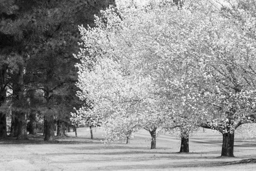 blackandwhite pine landscape march spring bradford blossom northcarolina pear bloom allée newbern treesinarow