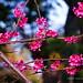 Cerezos, Flores de invierno