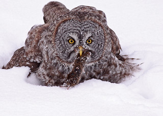 Great Gray Owl...#10 (lunch is served) | by Guy Lichter Photography - 5.5M views Thank you