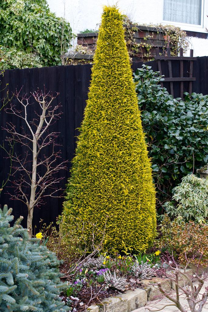 Chamaecyparis lawsoniana 'Stardust' (Lawson cypress 'Stard ...