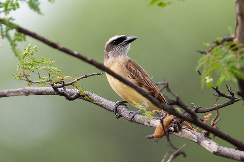 birds animals ecuador loja animalia vertebrates tyrannidae tyrantflycatchers bairdsflycatcher myiodynastesbairdii