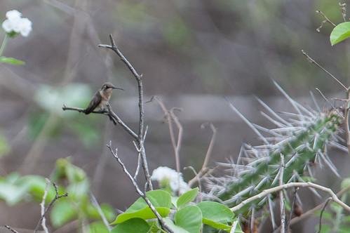 birds animals ecuador hummingbirds loja animalia vertebrates trochilidae shorttailedwoodstar myrmiamicrura