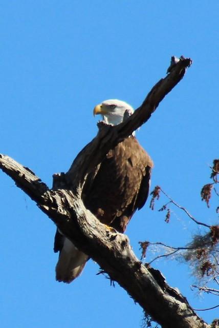 bald eagle on the santa fe