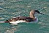 008002-IMG_1706 Black-throated Diver (Gavia arctica) by ajmatthehiddenhouse