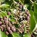 Flickr photo 'Ivy, Hedera helix.berries.090208' by: Jamie McMillan.