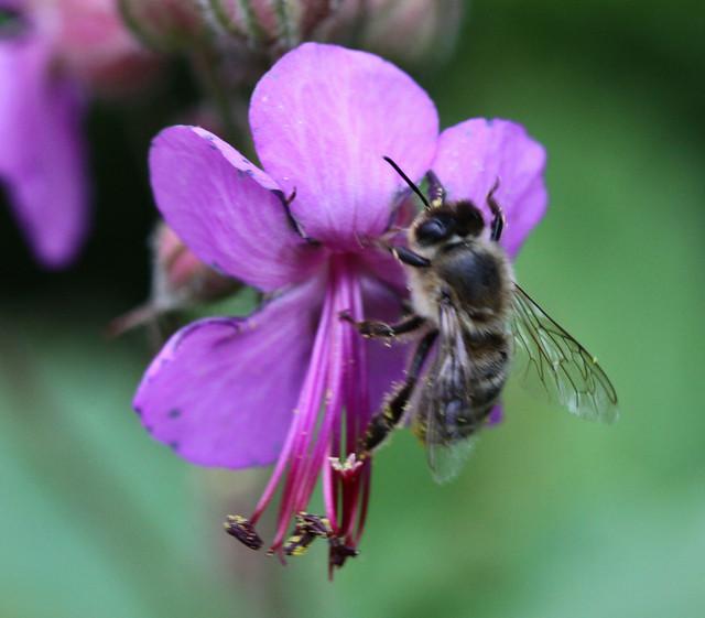 Honigbiene an Blüte 02