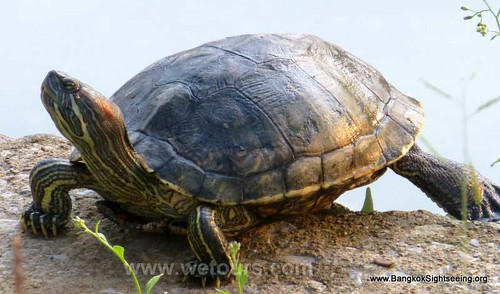 lumpini park turtle in Bangkok | by WeTours