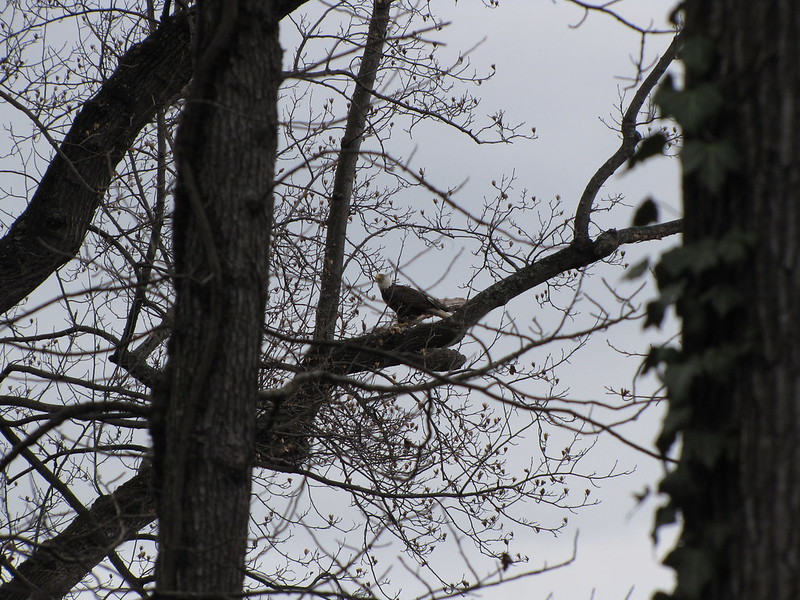 Morningside Resident Bald Eagle