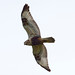 Flickr photo 'Rough-Legged Hawk-Buteo lagopus' by: jerrygabby1.