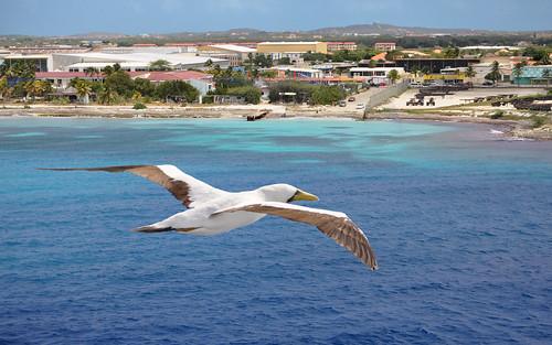 Booby over Aruba | by Len Radin