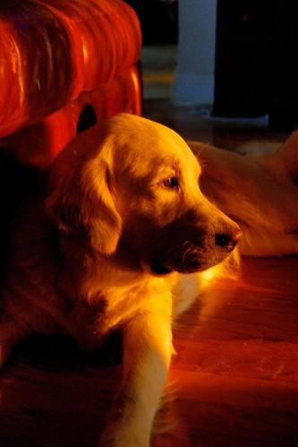 dogs golden retrievers