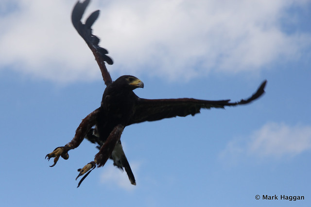 Cassie the Harris Hawk