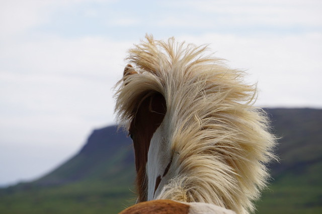 Islandpferd in seiner Heimat