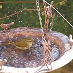 bathing bush warbler