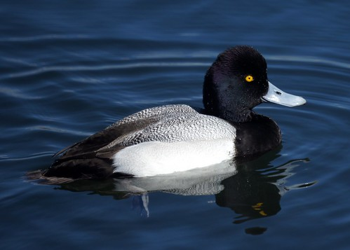 Lesser Scaup | by Mike's Birds