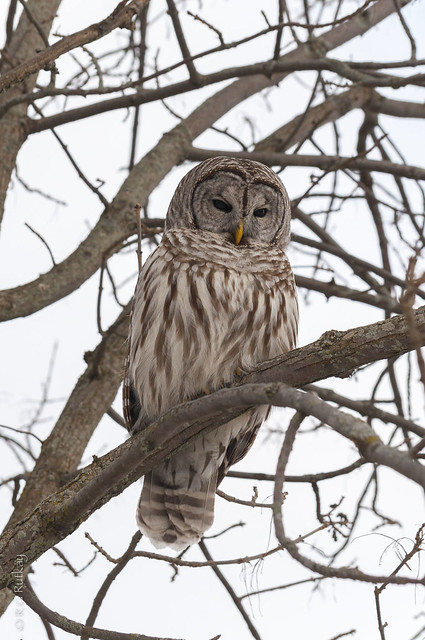 Barred Owl-5924