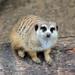 Κοινή Σουρικάτα - Photo (c) Heather Paul, μερικά δικαιώματα διατηρούνται (CC BY-ND)
