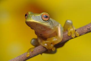 Dainty Green Tree Frog