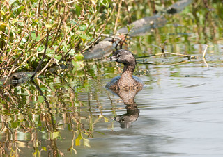 Pied-billed Grebe | by Sergey Yeliseev