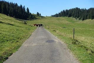 cows in the road | by Nedm44