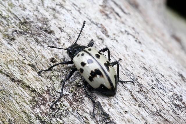? Tenebrionidae