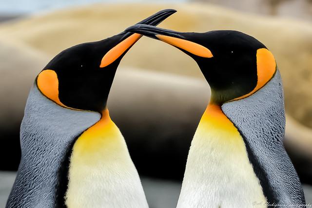 Manchot Royal, King Penguin