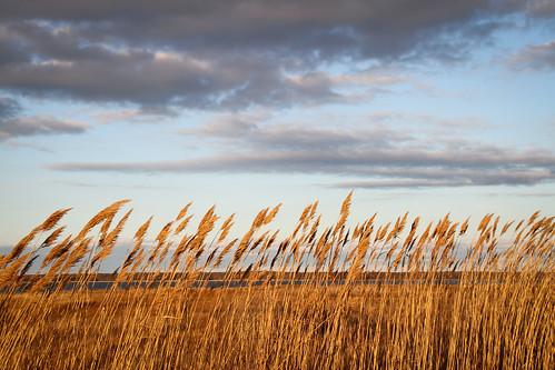 newyork clouds reeds hamptons wind meadow windy blowing marsh southampton darkclouds meadowlane phragmitesaustralis commonreed latedaylight finallight bendinthewind ibendandbreaknot jeplieetnerompspas