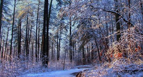 trees winter woods snowscape mygearandme mygearandmepremium photographyforrecreation