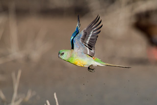 Red-rumped Parrot | by Peter Jacobs Photos