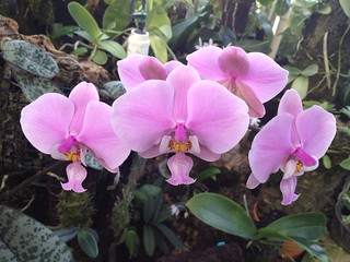 Phal. schilleriana 'Pink Butterfly' AM/AOS