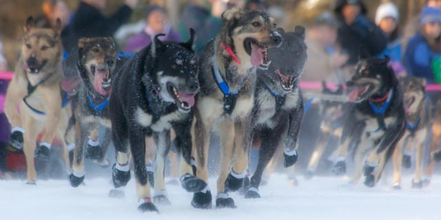Martin Buser's dogs going full speed ahead